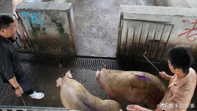 能繁母猪连续8月增长,仔猪每头降价800元,疫苗研发也传来好消息