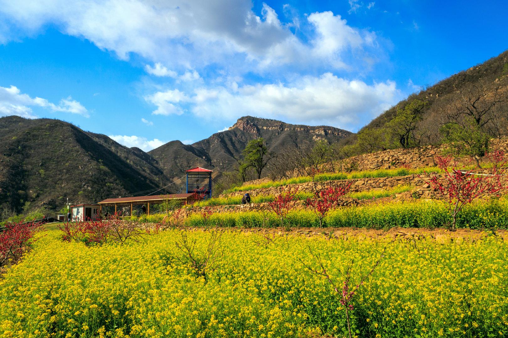 春暖油菜花开,花开时节想见你!鹿泉区常河常馨谷景区恢复开放