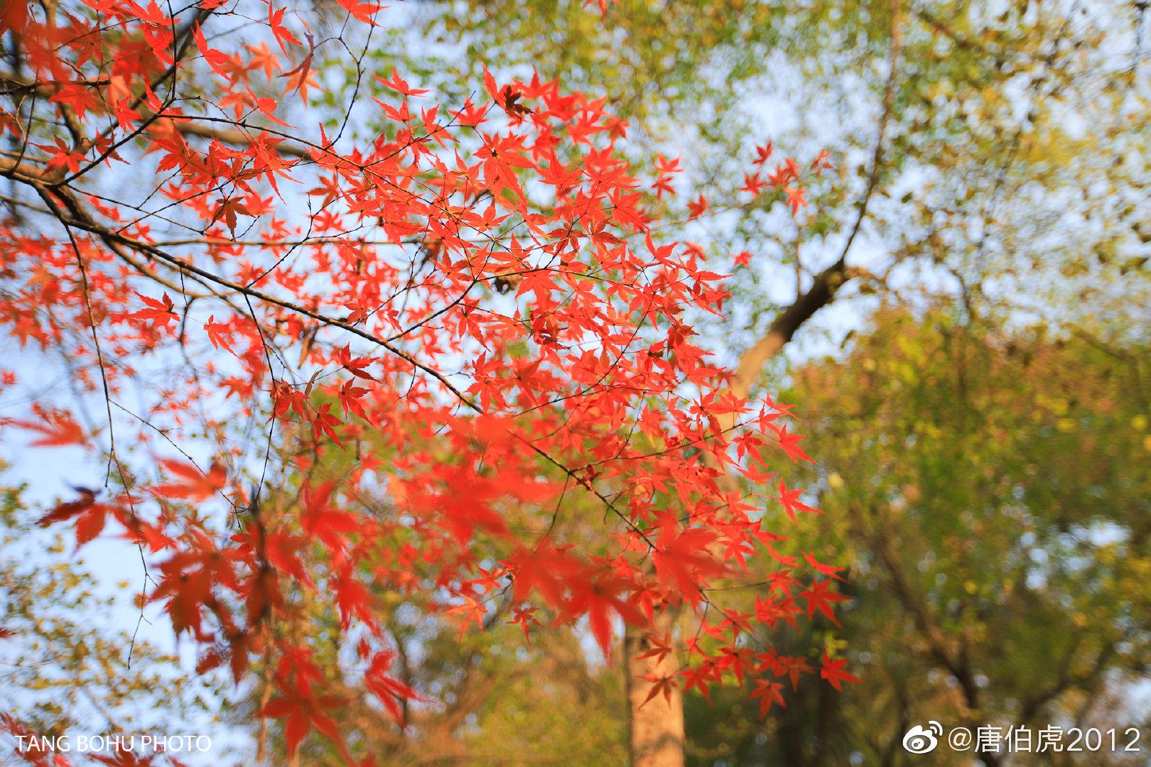 南京栖霞山枫叶正当红,走进栖霞山漫山遍野被红叶遮盖,红似烈火