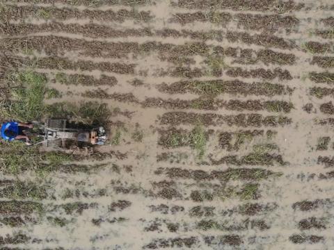 云东海种下100亩稻田,未来还将变身紫色花海!