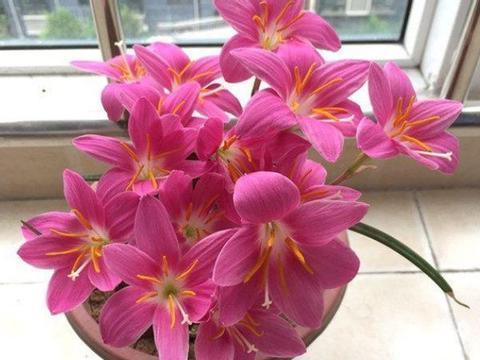 怎么促使盆栽状态的风雨兰多多开花,甚至一年开花5个月?