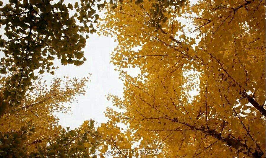 近日,山西运城临猗县三管镇的银杏林到了最佳观赏期