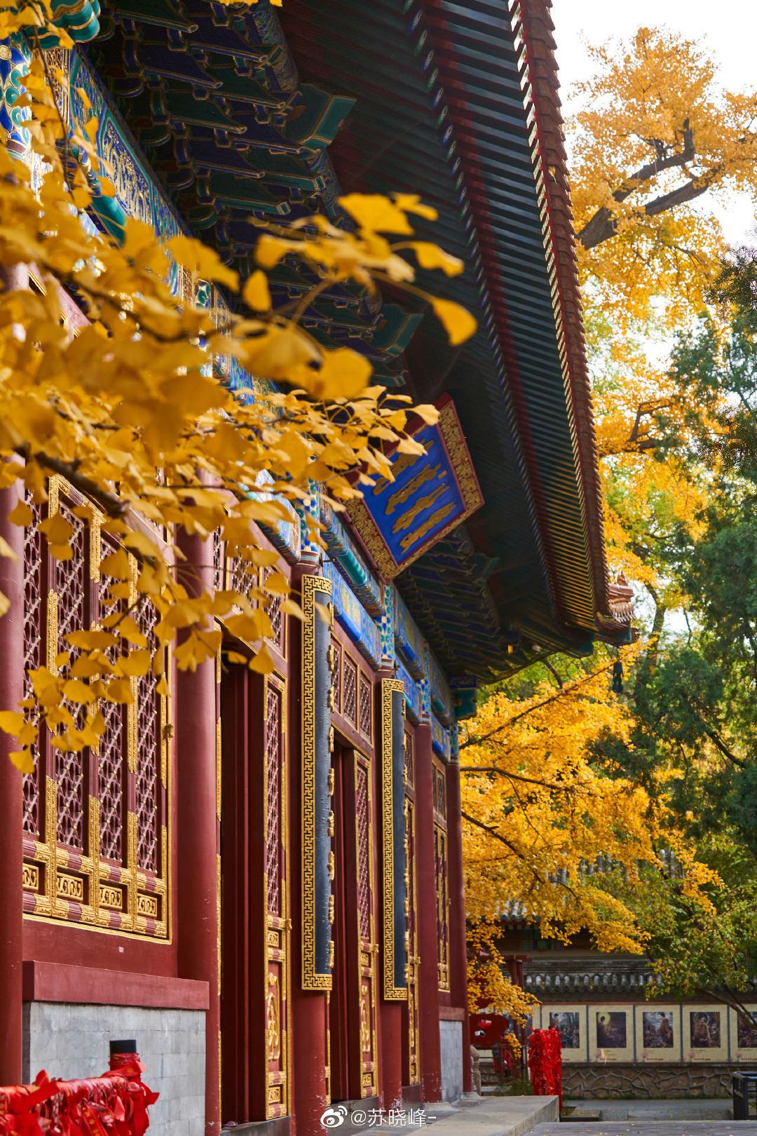 北京卧佛寺,八百年银杏又黄,道不尽世间沧桑。摄影@苏晓峰-