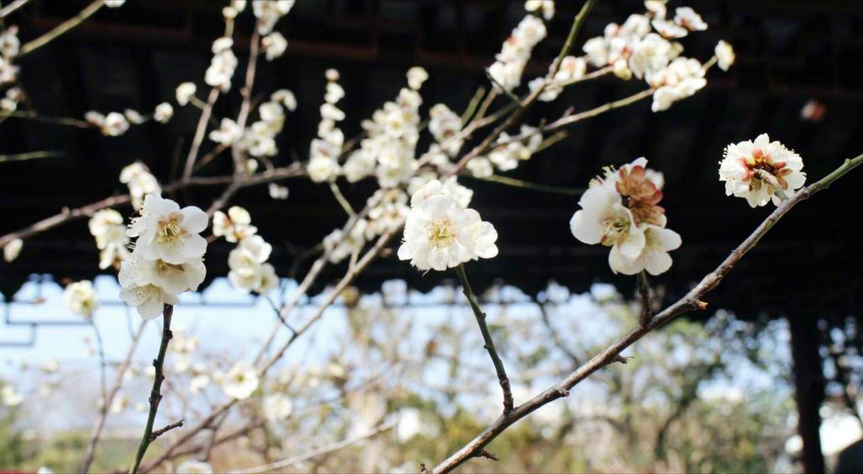 苏州怡园春先,白墙黛瓦中的江南春色。