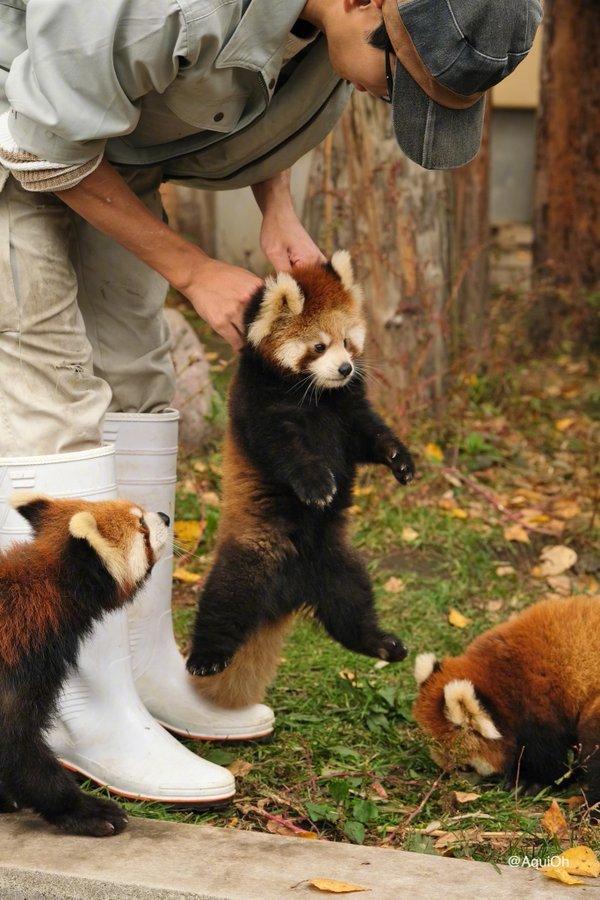 """工作人员""""携带""""小熊猫的方式,就跟它们妈妈一样。 (twtr:AquiOh)"""