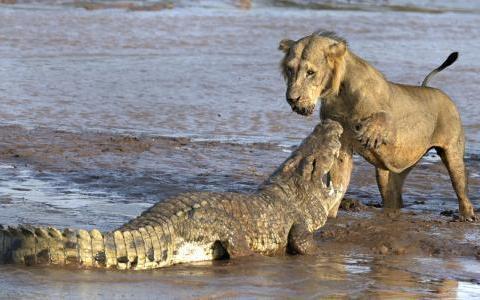 鳄鱼在岸上晒太阳,一头狮子过来戏弄它,镜头记录全过程!