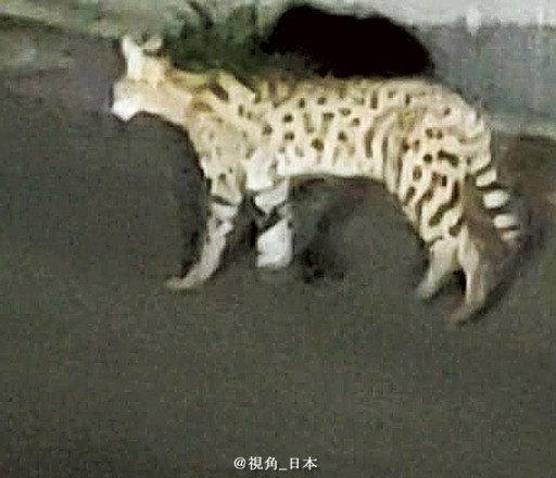 生活:逃脱的薮猫时隔16天被捕获。6月27日上午