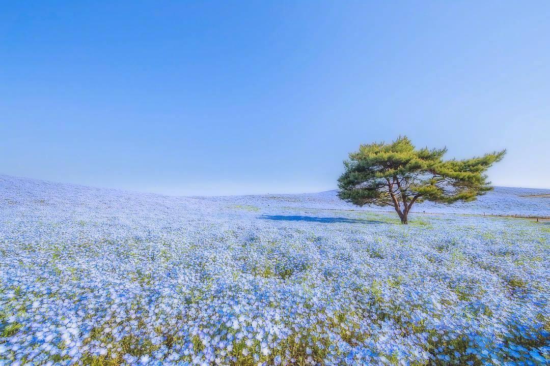 日本的蓝色粉蝶花海,真是太梦幻啦!