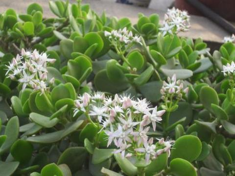 这几种花寿命长,一盆能活几十年,养在家里能当传家宝