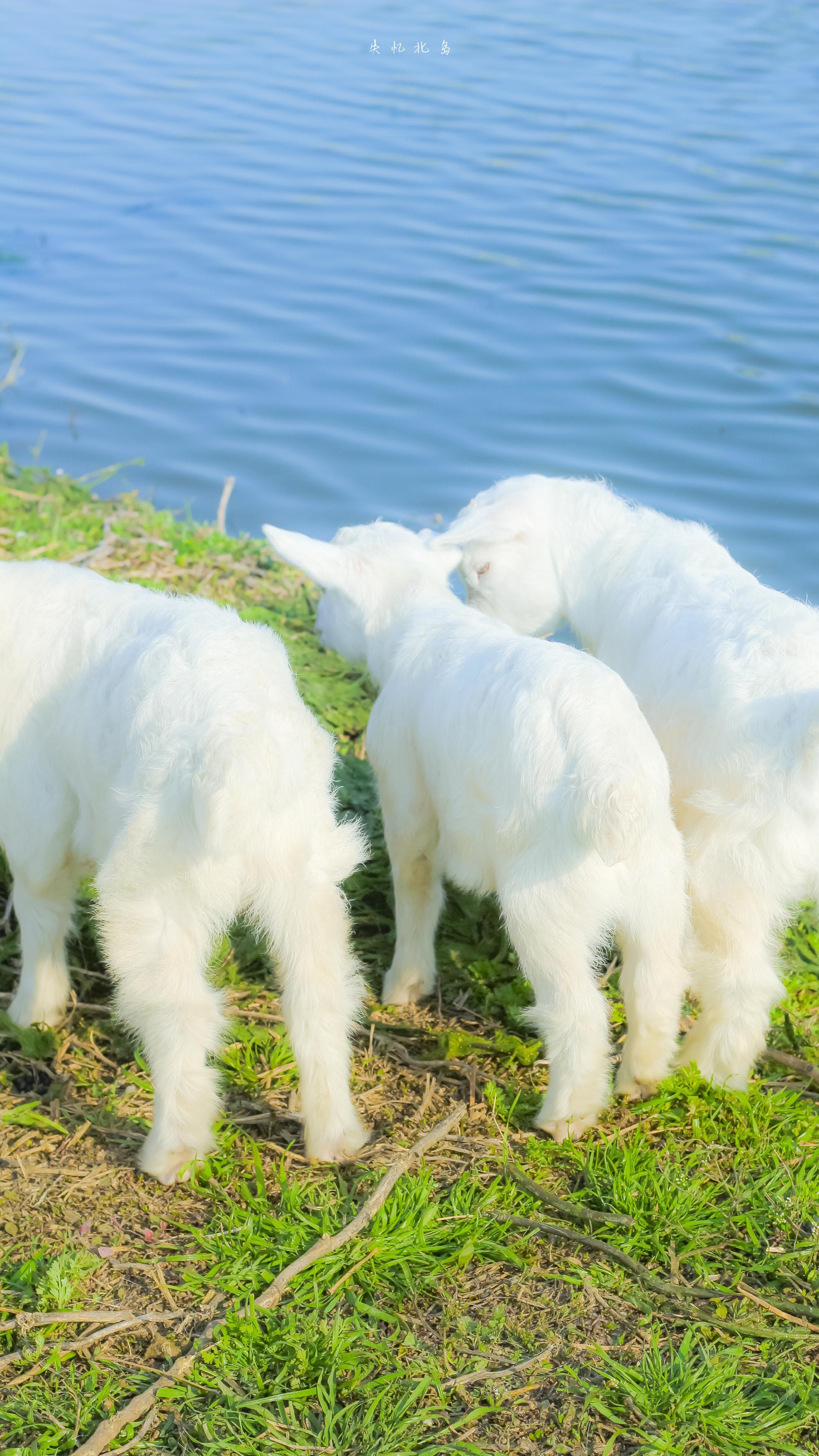 小羊与油菜花在春天的碰面 by@失忆北岛