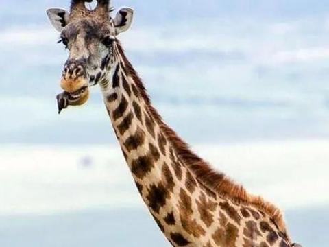 长颈鹿吃牛椋鸟有趣的一幕:牛椋鸟非要撬开长颈鹿嘴