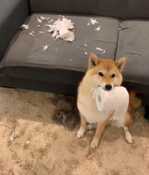 狗狗偷玩纸巾,主人被吓得往后退,但其实完全不知悔改
