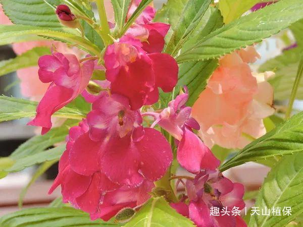 农村一种漂亮的花,是治宫颈糜烂、阴道炎的良药,你认识吗?