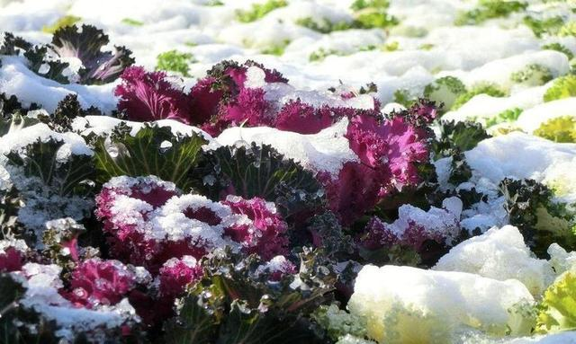 一种观赏绿植远看像白菜,五颜六色颜值高,名叫羽衣甘蓝
