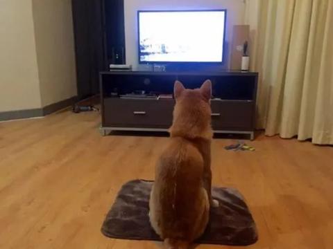 """那只曾经喜欢看电视的柴犬,如今没了电视瘾,反倒成了""""狗保姆"""""""