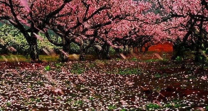 七里店丨春风十里桃花正烂漫 快来邂逅这场桃花雨
