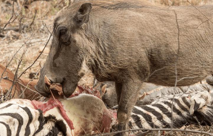 """疣猪""""还俗""""改吃肉, 下山先拿斑马开刀 疣猪: 还是肉吃着香!"""