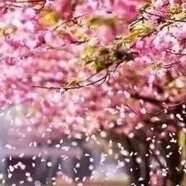 樱花雨上热搜!看,熟悉的武汉正在回来……