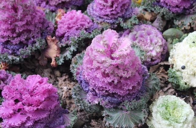 羽衣甘蓝远看似白菜,近看五颜六色的叶片真亮眼,花型大养护不难