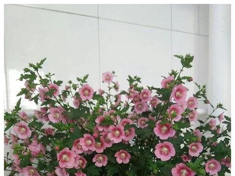这款小花养在家里,漂亮的像假花,遇土即活,一年四季开花如春