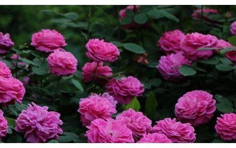 """喜欢月季,不如养""""珍品玫瑰""""蓝月亮玫瑰,花色紫红,高贵典雅!"""