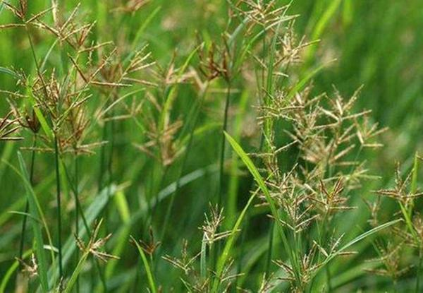 """每到春天这种野草""""疯狂生长"""",价值高数量多,名叫香附子"""