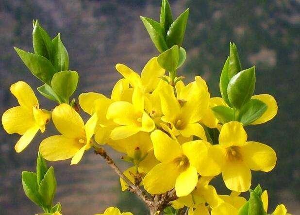 春天的信使迎春花,皮实好样,养一盆老桩盆景价值更好!