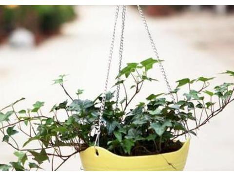 常春藤养殖方法很简单,3月爆盆,1年长满院,蹭蹭长不停