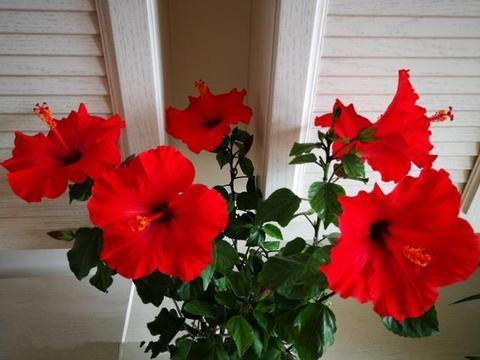 """喜欢月季,不如养盆精品月季""""葡萄园之歌"""",花繁叶茂,美丽怡人"""