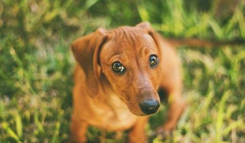 世界名犬之腊肠犬,爱恨交织的犬会让许多人想养又不太敢养