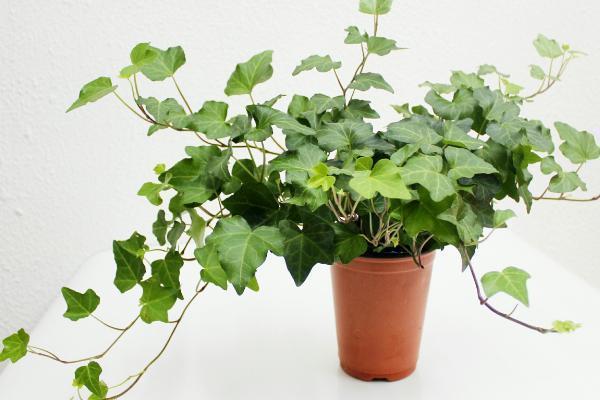 四季常青的常春藤,养在家里比绿萝养眼,快学学养护方法