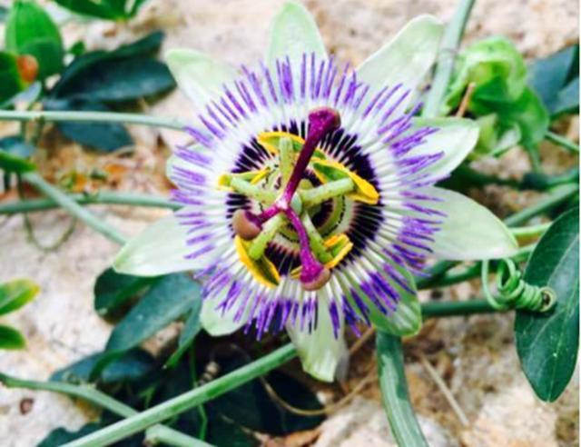 深山里的野花,很少人见过,整株自带香味,遇见要离它远一点