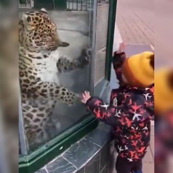 萌娃隔着玻璃和老虎互相搏斗,网友:一个傻也不怕,一个啥也不怕