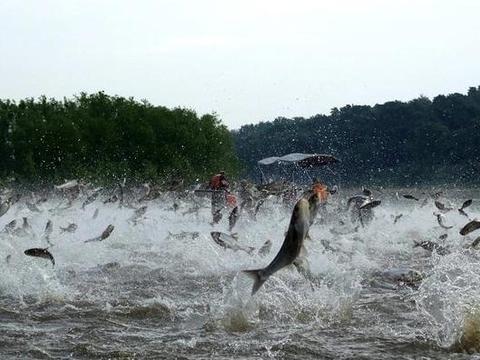 美国政府为解决亚洲鲤鱼泛滥,在水库养鸭子,却意外变成景点!