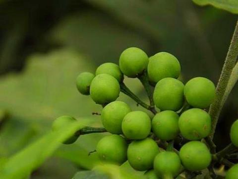 """山沟沟一种带刺的野草,名叫""""刺天茄"""",繁殖快结果子,价值高"""