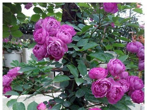 """喜欢牡丹,不如养盆精品月季""""葡萄园之歌"""",花繁叶茂,美丽怡人"""