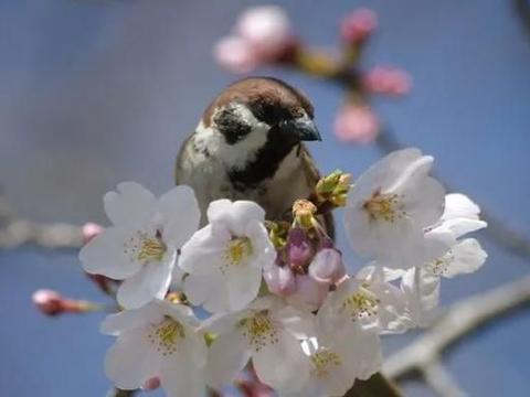摄影师抓拍到麻雀啾啾和樱花合照真的超美,春意满满!
