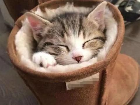 天气太冷,小奶猫竟然躲到主人的雪地靴里睡觉,小模样简直太萌了