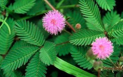 """自然界最""""敏感""""的一种植物,一碰叶子就闭合,能观赏还能入药"""