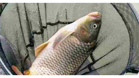 牛粪钓鱼有奇效,尤其是钓大鲤鱼,爱钓大鱼的你别错过
