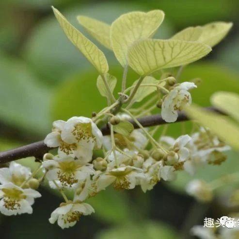 猕猴桃延缓衰老、消除皱纹,农民种植猕猴桃时如何获得高产呢?