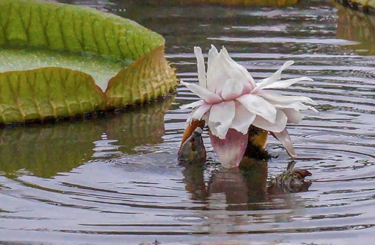 小伙公园赏荷花,发现水里有东西跳出,定睛一看,顿时惊喜了