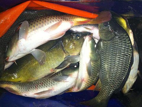 剩菜剩饭不要扔,拿来做窝料,诱鱼效果不比买的差