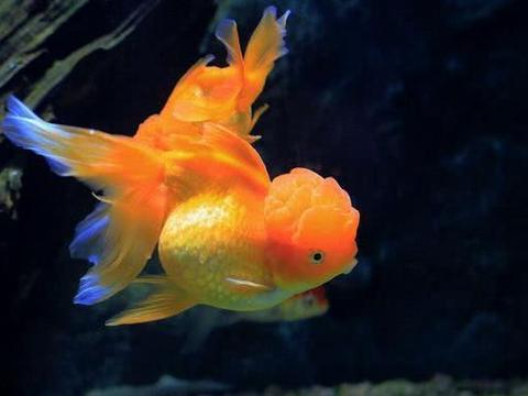 为何中国人什么鱼都敢吃,唯独不敢吃金鱼,无非是这些原因造成的