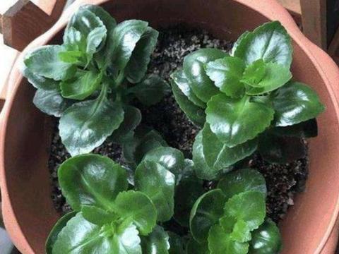 养长寿花、杜鹃花该如何扦插,用土做基质,操作简单、成活率高
