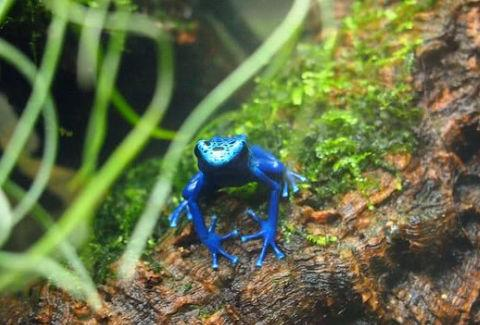 摄影师野外发现一只全身蓝色青蛙,调查资料后,庆幸自己没去碰它