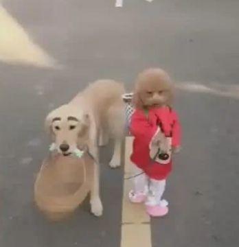 泰迪用绳拉金毛去买菜,金毛被当成宠物,地位变低!