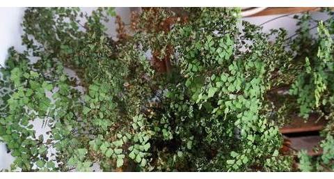 盆栽铁线蕨怎么保证美观性?学会这样修剪,植株发芽早、长势猛