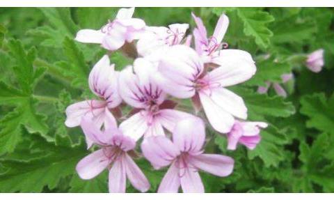夏天蚊子多,总是被蚊子叮,不妨养上些花草,蚊子想近身都难