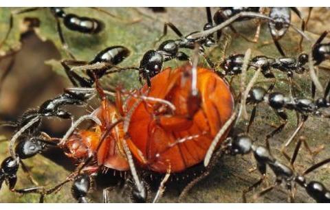 哥伦比亚的独特美食,把蚂蚁爆炒当零食吃,价格还十分昂贵